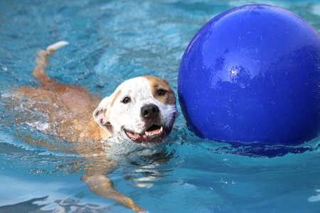 Photo pour Dog swimming with his ball - image libre de droit