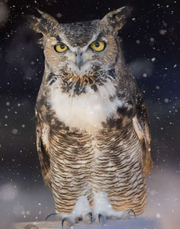 Photo for Great horned owl sitting out in the winter snow - Royalty Free Image