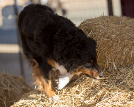 Photo for Australian Shepherd searching for a rat in the bales of hay - Royalty Free Image
