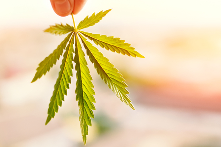Photo pour Marijuana symbol medical concept. Cannabis leaf in sunlight at sunset close up on a blurred background - image libre de droit