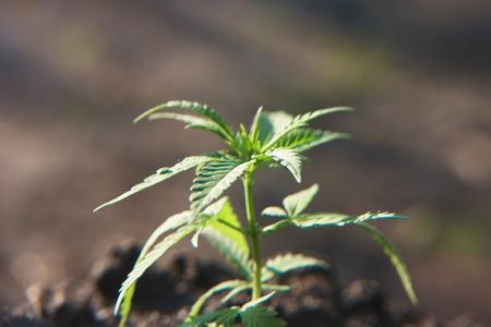 Photo for Hemp industrial plantation. Cannabis concept CBD oil, medical extract. Green leaves marijuana on cannabis plant, controls the harvest of marijuana cultivation - Royalty Free Image
