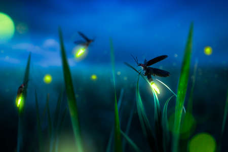 Photo for glowing firefly on a grass filed at night - Royalty Free Image