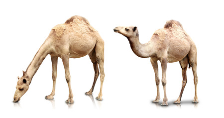 Photo pour A portrait of Two camels isolated in white background - image libre de droit