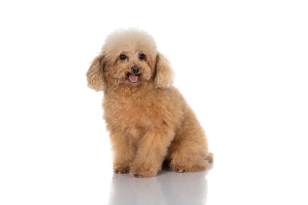 Photo pour miniature poodle dog isolated - image libre de droit