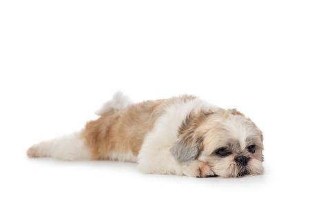 Foto de cute lazy shih tzu dog lying on the floor - Imagen libre de derechos
