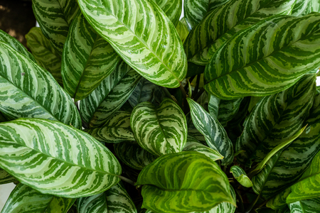 Photo for Top view green of beautiful potted Aglaonema plants - Royalty Free Image