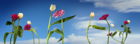 Photo for Dancing flowers, white tulips and pink gerbera dance together on a spring or summer party, 1st of May concept, blue sky with clouds, wide panoramic banner format, selected focus, narrow depth of field - Royalty Free Image