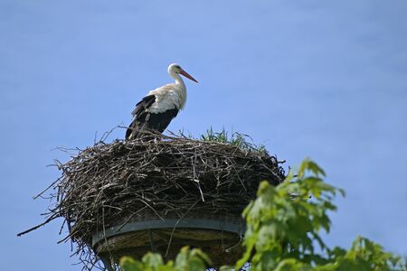 Photo pour White stork (Ciconia ciconia) on the nest on a pole, the large bird is returned from the wintering grounds and waits for its partner, blue sky with copy space - image libre de droit