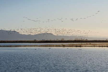 Photo pour flock of birds at sunrise in the natural park of Albufera, Valencia, Spain - image libre de droit