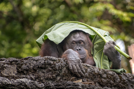 Photo for Orangutans use umbrellas from leaves - Royalty Free Image