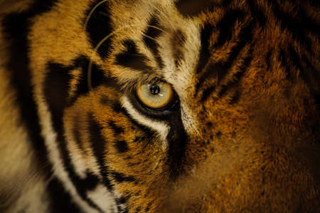 Foto de Fierce Bengal tiger eye looking close up - Imagen libre de derechos