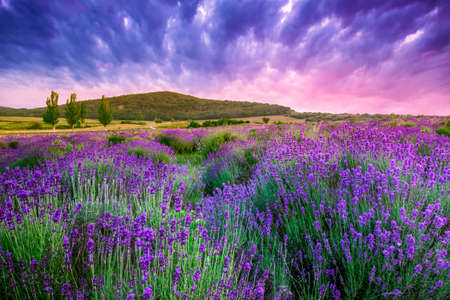 Foto de Sunset over a summer lavender field in Tihany, Hungary- This photo make HDR shot - Imagen libre de derechos