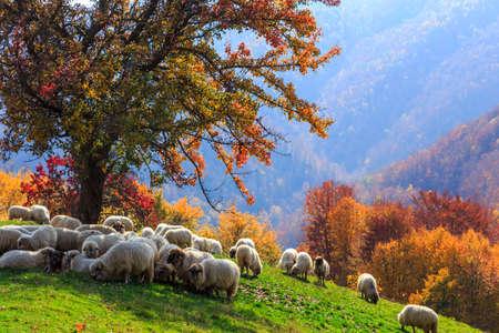 Foto de Tree, sheep, shepard dog in autumn landscape in the Romanian Carpathians - Imagen libre de derechos