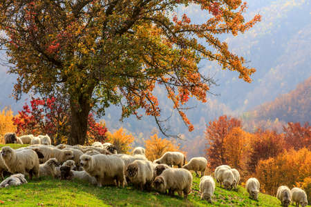 Tree sheep shepard dog in autumn landscape in the Romanian Carpathians mural