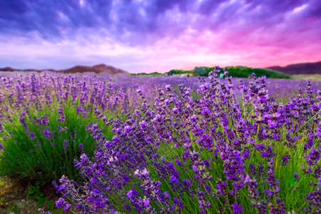 Foto de Sunset over a summer lavender field in Tihany, Hungary - Imagen libre de derechos