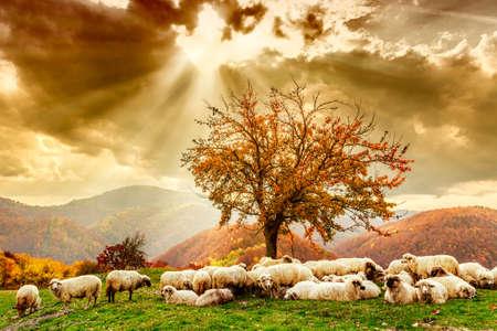 Foto de Bible scene. Sheep under the tree  and dramatic sky in autumn landscape in the Romanian Carpathians - Imagen libre de derechos