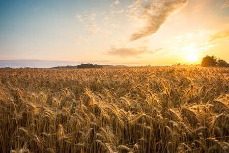 Photo pour Golden ears and field of wheat ready to be harvested. This photo made in Hungary - image libre de droit