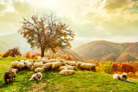 Photo pour Bible scene. Sheep under the tree and dramatic sky in autumn landscape in the Romanian Carpathians - image libre de droit