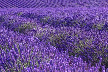 Foto de Lavender field summer landscape near Valensole.Provence,France - Imagen libre de derechos