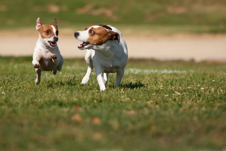 Energetic Jack Russell Terrier Dogs Running on the Grass Field.