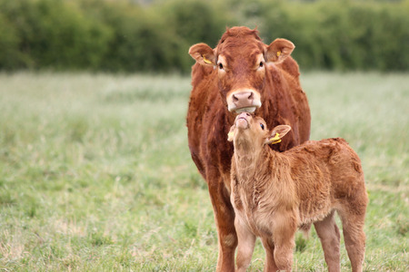 Mother Cow with baby calf in a field.