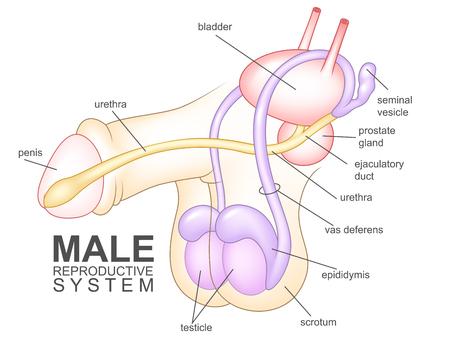 Illustration pour Male reproductive system - image libre de droit