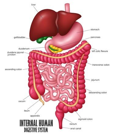Illustration pour The Part Of Internal Human Digestive System Illustration - image libre de droit