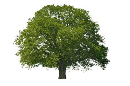 single linden tree isolated on white background