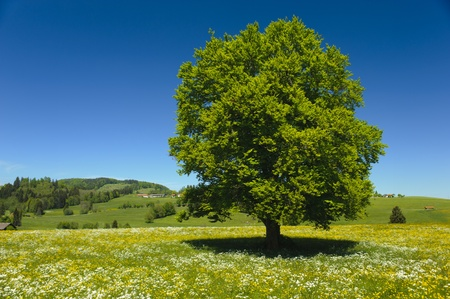 single beech tree in meadow at spring
