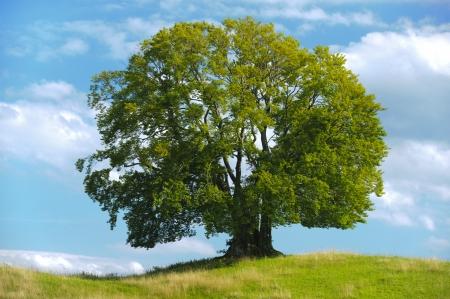 big single beech tree in summer
