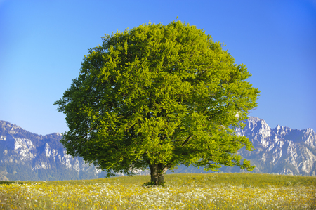 Photo for single big beech tree - Royalty Free Image