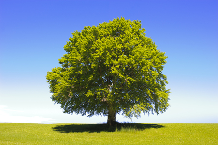 Photo for single big old beech tree at spring - Royalty Free Image