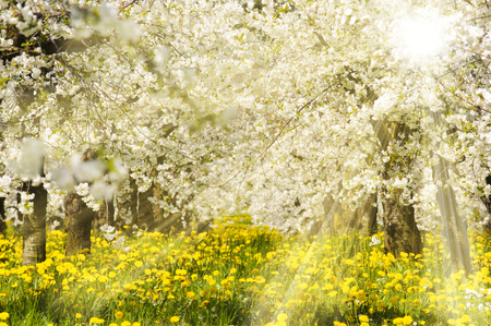 Photo pour sun rays at blooming apple tree - image libre de droit