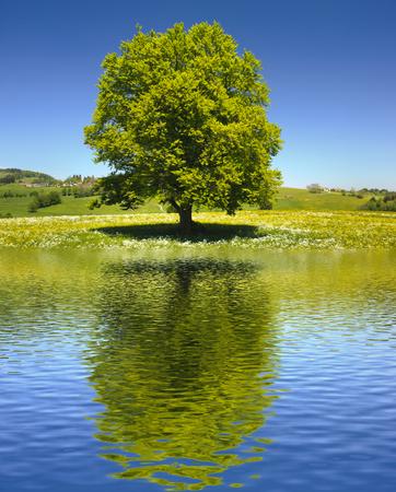 Foto de single big old tree mirroring on water surface - Imagen libre de derechos