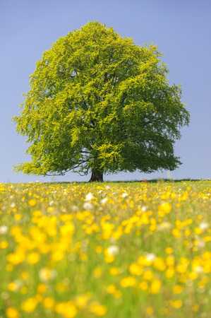 Photo for single big beech tree in field with perfect treetop - Royalty Free Image