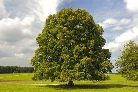 Photo for single big linden tree in field with perfect treetop - Royalty Free Image
