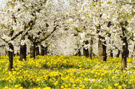 Foto de Many blooming apple trees in row on field with spring flowers - Imagen libre de derechos