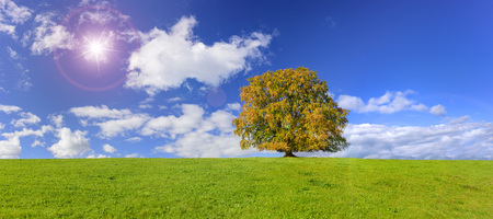 Photo for single big beech tree at autumn with sun in backlight - Royalty Free Image