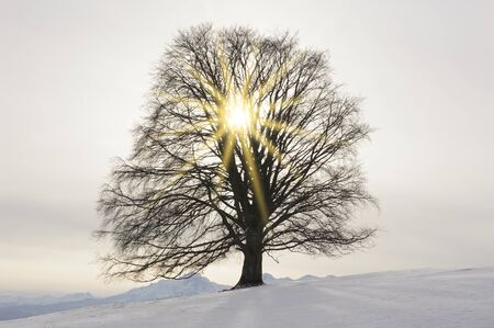 Photo for perfect single beech tree in meadow at winter - Royalty Free Image