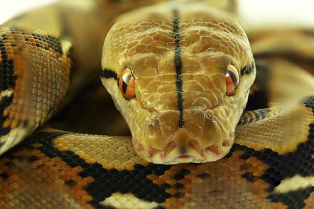 Photo pour Wild snake 'Python' beautiful reptile. Selective focus and toned image. - image libre de droit