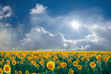 Photo pour Summer beautyful landscape with big sunflowers field and blue sky with clouds - image libre de droit
