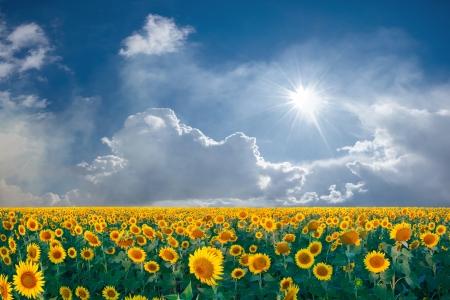 Foto de Summer beautyful landscape with big sunflowers field and blue sky with clouds - Imagen libre de derechos