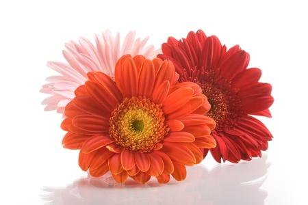 Photo pour Three gerbera daisy flowers on white background - image libre de droit