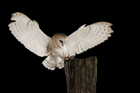 Photo for Barn Owl, in flight of perching on a trunk with open wings, black background, Tyto alb - Royalty Free Image