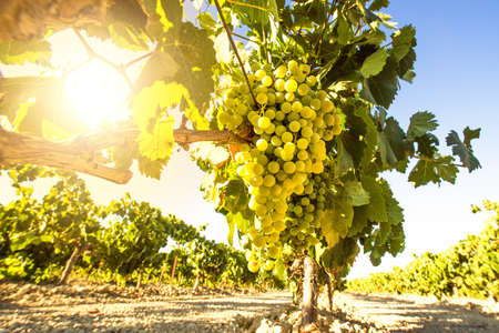 Photo pour White wine grapes in vineyard on a sunny day - image libre de droit