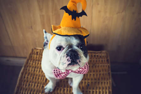 Photo for Portrait of French bulldog with hat halloween - Royalty Free Image