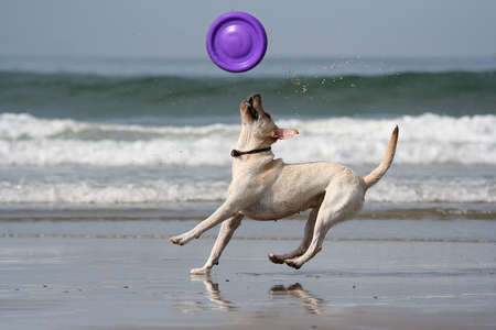 dog catching the disc in the beach