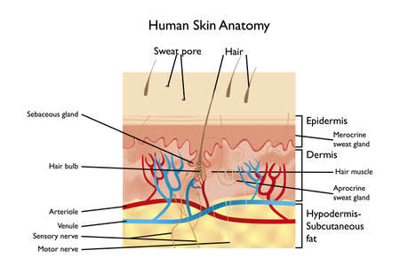 Illustration pour Human Skin Anatomy - detailed illustration with designations in English - image libre de droit