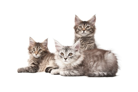 Group of three kittens on a white background