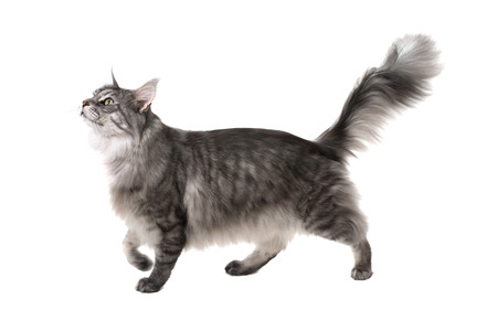 Photo for Side view of a maine coon cat walking and looking up on a white background - Royalty Free Image